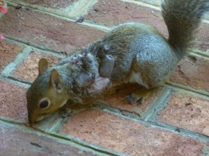 Eastern_Gray_Squirrel_suffering_from_warbles