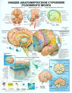 Stroenie_mozga