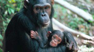 1412650258_chimpance
